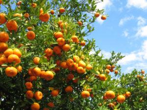 Orange groves ripe with oranges